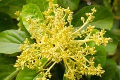 avocado-blossom
