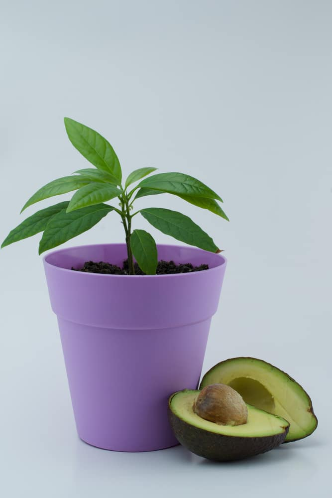 Avocado Houseplant » Top Tips for Lush Indoor Foliage