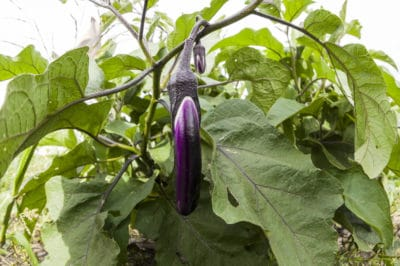 big-japanese-eggplant-get