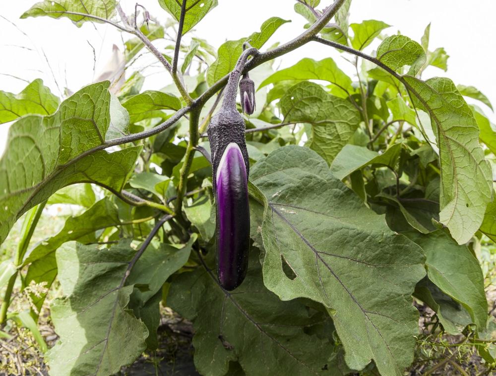 Anese Eggplant Get