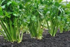 celery-companion-plants