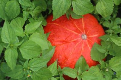 companion-planting-improve-pumpkin-patch
