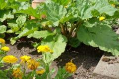 companion-plants-rhubarb-will-love