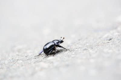 eggplant-flea-beetle