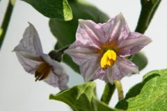 eggplant-flowers-no-fruit