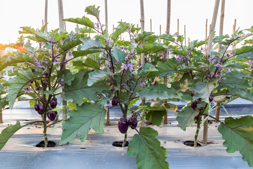 Eggplant Ing Facts On Proper Distance For Hy Plants