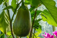 eggplant-turning-green