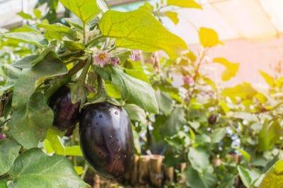 female-male-eggplant-myth-debunked