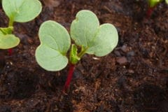 germinating-radish-seeds-best-practices