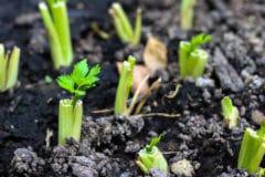 grow-celery-stalk