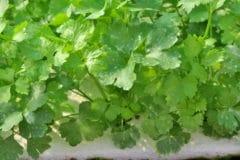 grow-celery-water