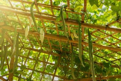 grow-zucchini-vertically