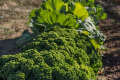 growing-broccoli-climate-zone