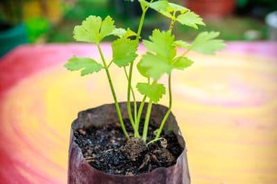 growing-celery-seed