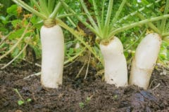 growing-daikon-radish
