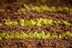 growing-lettuce-seed