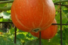 growing-pumpkins-planters-easy-pie