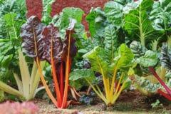 growing-swiss-chard