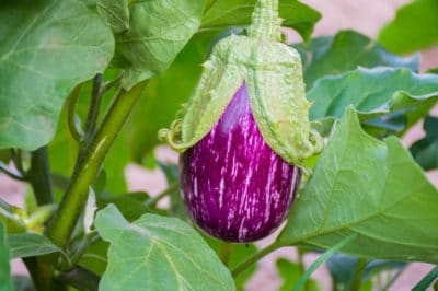 growth-stages-eggplants