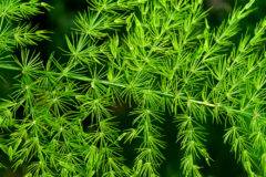 headline-asparagus-fern-care