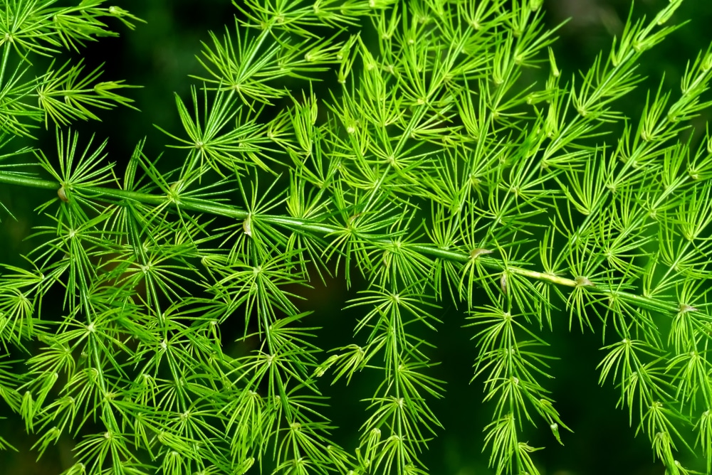 asparagus fern care keeping it healthy and happy. Black Bedroom Furniture Sets. Home Design Ideas