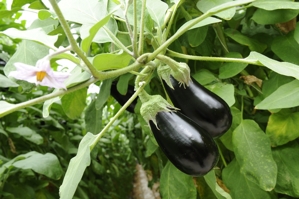 How To Prune Eggplant And Why It S Good For Your Harvest