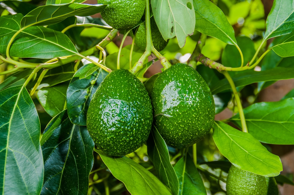 Avocado Trees Amp How Long To Grow A Mature Tree