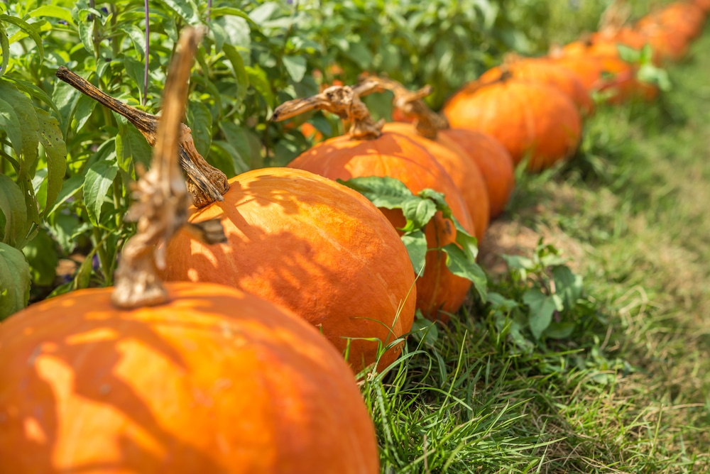 How Long It Takes For Pumpkins To Grow