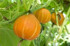 many-pumpkins-per-plant