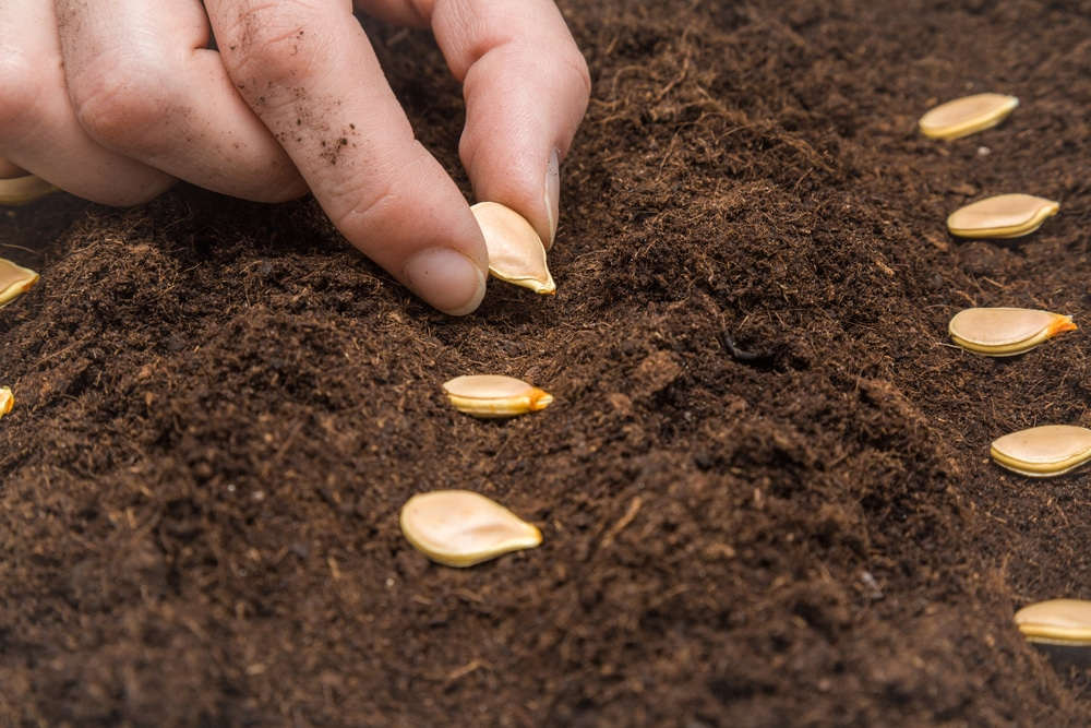 planting pumpkin seeds top tips on how