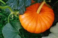 plant-pumpkins-texas