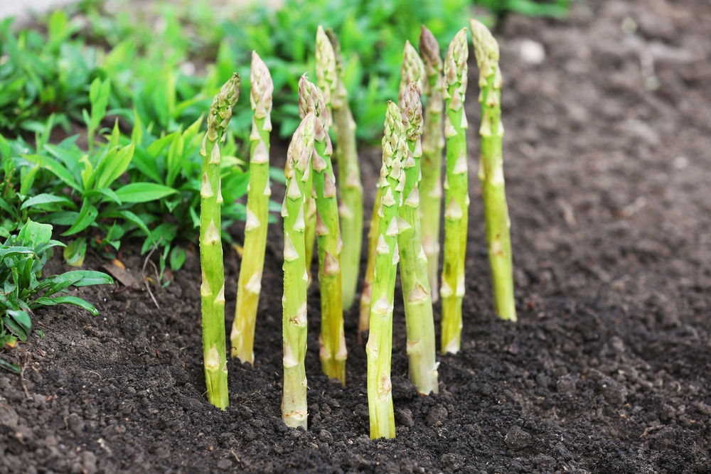 Asparagus Crowns and How to Grow to Perfection Planting Asparagus In The Fall