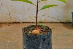 potted-avocado-tree