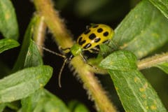 protecting-cuke-patch-spotted-cucumber-beetles
