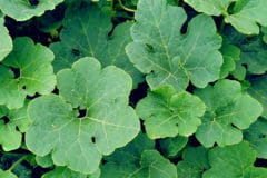 pumpkin-leaves