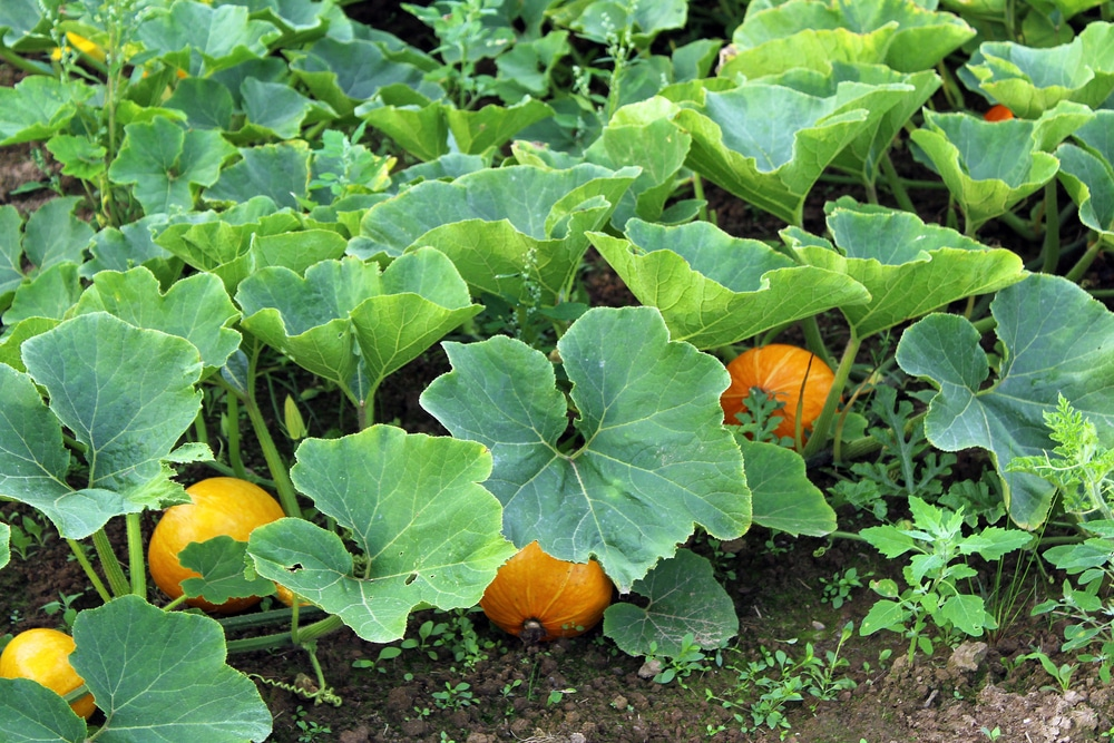 Pumpkin Vines  U00bb Everything You Ever Wanted To Know