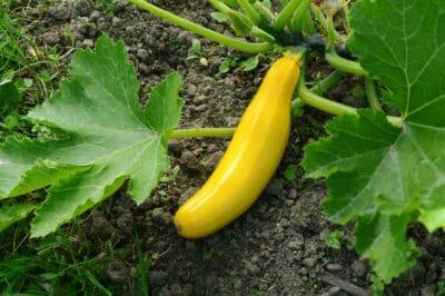 simple-steps-growing-squash