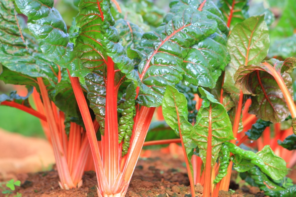 Swiss Chard Companion Plants Know Your Chard S Friends