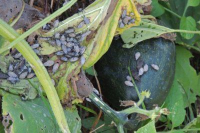 title-eliminate-squash-bug-eggs