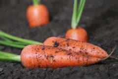 title-growing-carrots-can-be-easy-fun-and-rewarding
