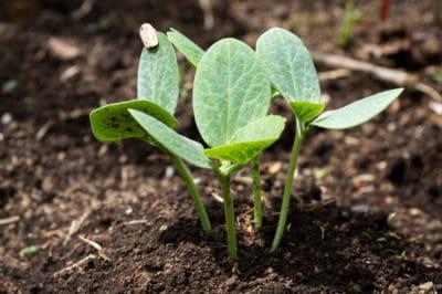 title-growing-squash-seedlings-transplant-well