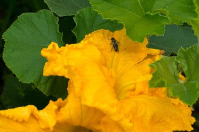 title-hand-pollinate-squash-flowers