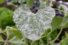 title-powdery-mildew-can-stopped