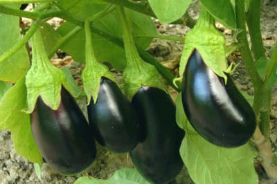 trimming-eggplant-fruit-production