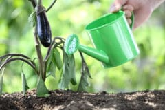 watering-eggplant-much-often