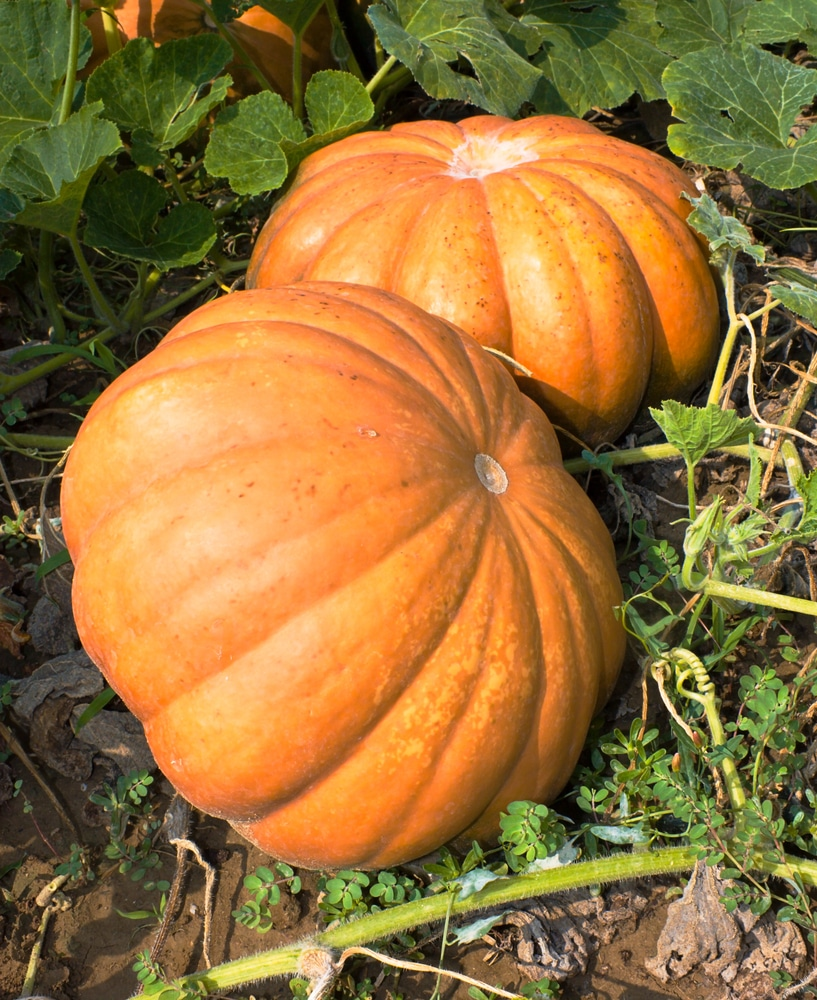 Pumpkins in ohio how to plant like a pro for Best pumpkins to grow
