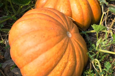 where-do-pumpkins-grow