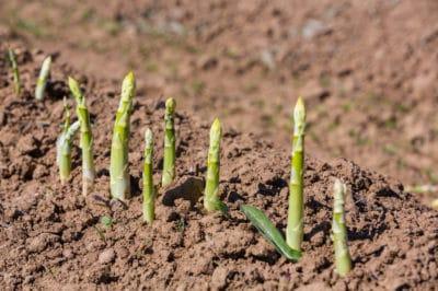 where-does-asparagus-grow