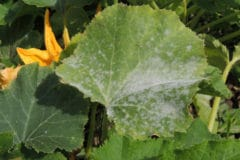 white-spots-zucchini-leaves