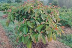 avocado-fertilizer
